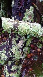 lichen on almond_preview