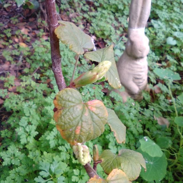 Ribes glutinosum bud