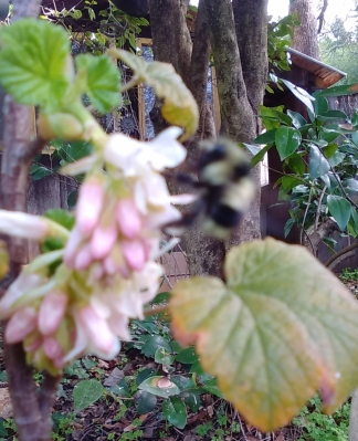 Bumble bee at ribes glut.