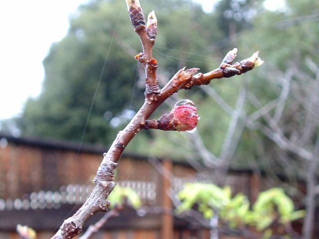 Apricot bud best